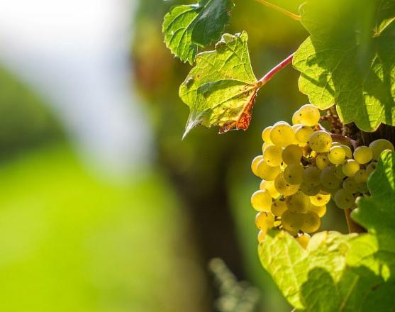 bassail - raisin